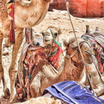 cammelli petra giordania