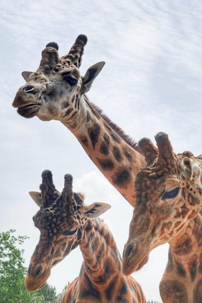 giraffe_zoom_torino