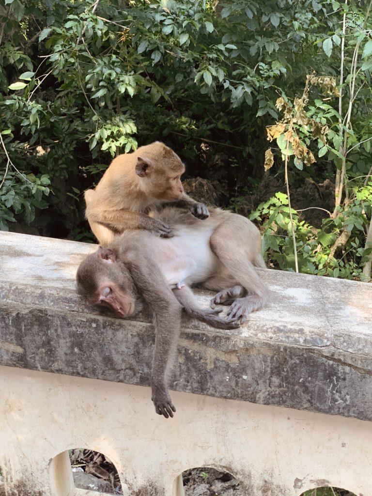 scimmie_thailandesi